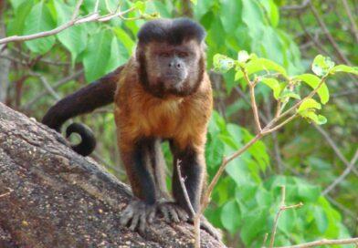 Preservação: campanha visa proteger o macaco-prego